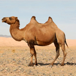 2-hump-camel-tab